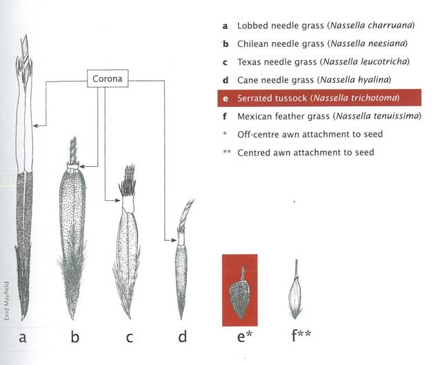 Nassella species can be differentiated clearly through their seed heads. Source: Enid Mayfield  (Serrated Tussock Best Practice Manual).