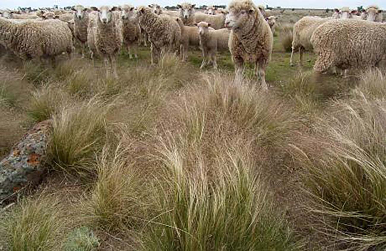 Serrated tussock infestations will reduce the carrying capacity of the pasture - Source: DEPI Victoria